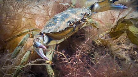 A shore crab seen along the Sheringham Snorkel Trail. Picture: christaylorphoto.co.uk