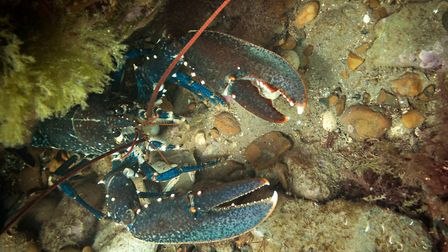 A lobster seen along the Sheringham Snorkel Trail. Picture: christaylorphoto.co.uk
