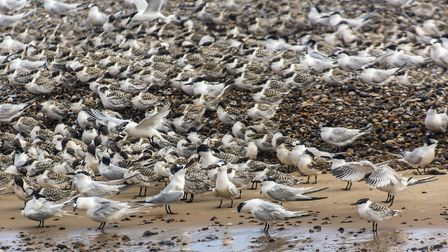 Newly fledged juvenile Sandwich Terns. Picture: National Trust - Ian Ward