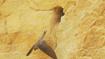 A sand martins leaving its nest. Picture: Archant Library