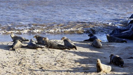 Campaign launched to protect Norfolk sand dunes. Picture shows Horsey seals. Pictures: Norfolk Count