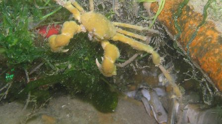 A spider crab on the wreck of the SS Vera off the north Norfolk coast. Picture: Archant Library