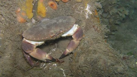 A hermit crab on the wreck of the Rosalie. Picture: Archant Library