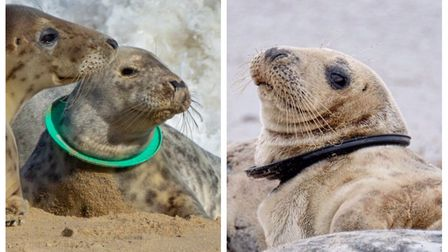 Some of the seals along the Norfolk coast with their heads stuck in plastic rings. Picture: Friends