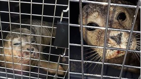 The first pup is the Trimingham pup and the second one is from Happisburgh. Pictures: Seal and Shore
