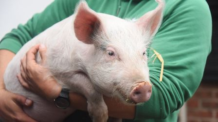 A rescued pig at the PACT animal sanctuaryPhoto: DENISE BRADLEY