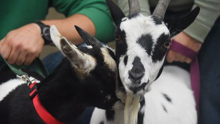 A pair of rescued goats at the PACT animal sanctuaryPhoto: DENISE BRADLEY