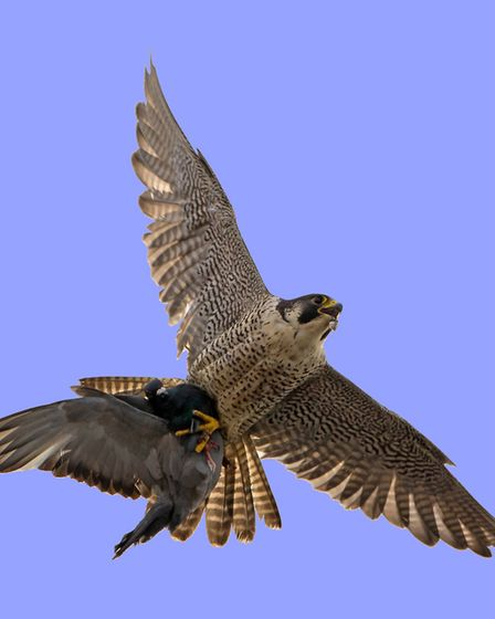 Chris Skipper, from Norwich, has produced a book, The Story of the Cromer Peregrines. One of the per
