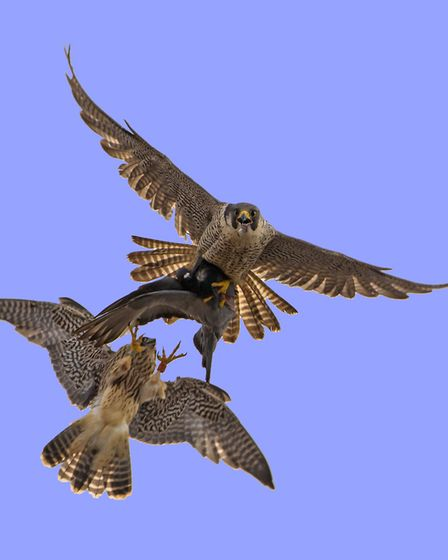 Chris Skipper, from Norwich, has produced a book, The Story of the Cromer Peregrines. Picture: Chris