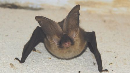 Brown long-eared bat - one of the 10 species seen at Kelling during the surveys. Picture: Mike Tom