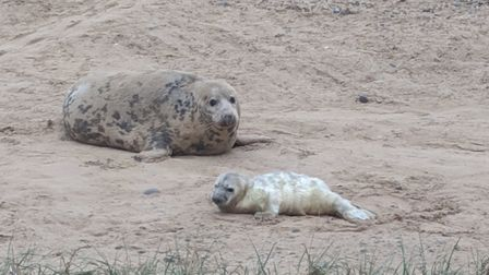 First Blakeney seal pup of 2019. Picture: National Trust/ Carl Brooker