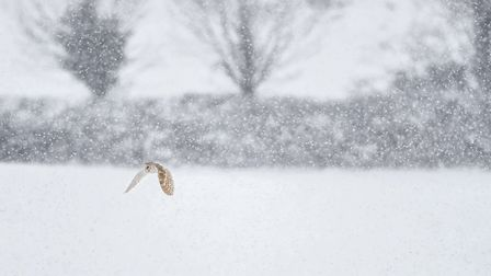 Barn Owl Snow Delays Hunting, by Paul Richard of the North Norfolk Photographic Society competition.