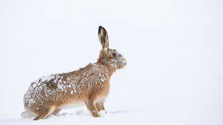 Brown hare after the snow, by Lizzie Wallis, from the North Norfolk Photographic Society. Picture: L