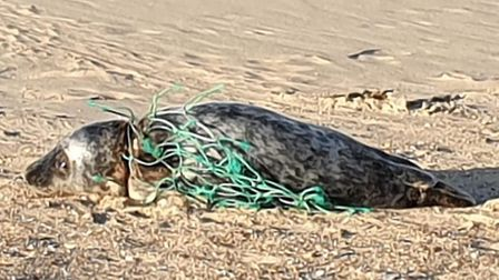 A young grey seal, named Bouncy Castle, suffered severe injuries to her neck after being caught in s