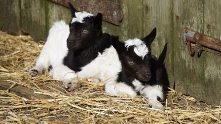 A couple of the Bagot goat kids born in the last few days at Wiveton Hall. Picture: DENISE BRADLEY