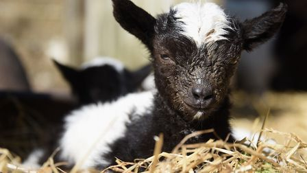 One of Bagot goat kids born in the last few days at Wiveton Hall, which will go on Cromer cliffs in