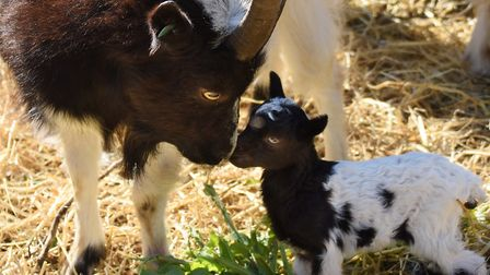 One of the Bagot goat kids born in the last few days at Wiveton Hall, which will go on Cromer cliffs