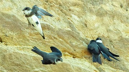 Sand martins have been building a new nesting site on the cliffs at Walcott in north Norfolk. Pictur