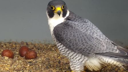 The Cromer peregrine falcons with their 2020 clutch of eggs. Picture: Cromer Peregrine Project
