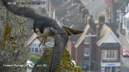 One of the Cromer peregrine falcons, as seen from a webcam at the top of the town's parish church. I