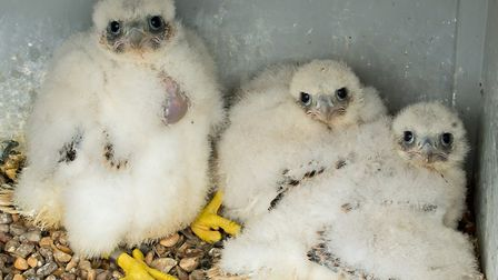 The three peregrine chicks at Cromer church last year. Picture: Chris Skipper