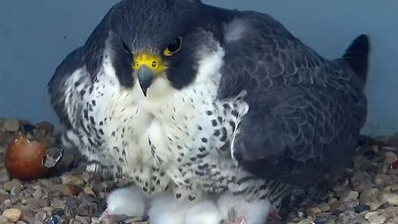 A shot from May 2 of the peregrines on top of Cromer Curch tower. Image: Cromer Peregrine Project