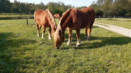 Suffolk Punches Remus and Reg at Gressenhall Farm. Picture: Gressenhall
