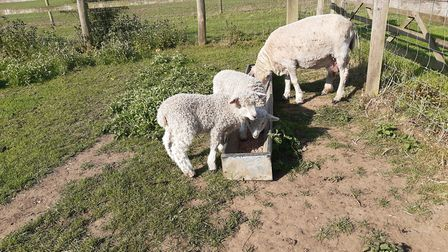 A Lincoln longwool and lambs at Gressenhall Farm. Picture: Gressenhall