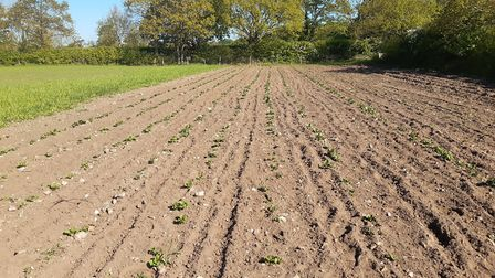 A potato field in early May at Gressenhall Farm. Picture: Gressenhall