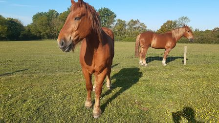 Trojan, the Suffolk Punch, showing off his new shoes at Gressenhall Farm. Picture: Gressenhall