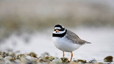 Ringed plover are one of two species of birds the alternative route seeks to protect. Image: Emily I