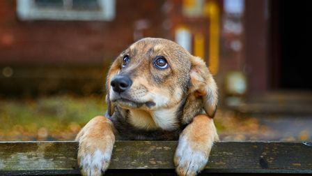 A homeless brown puppy with sad eyes is worth autumn on bench on the street. Picture: Getty Images/i