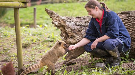 Imogen White, manager of Cromer's Amazona Zoo, with a South American coati. Picture: Chris Taylor