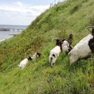 Cromer's famous bagot goats have returned to the town for the summer. Photo: North Norfolk District