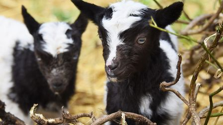 A couple of the Bagot goat kids born at Wiveton Hall earlier in the year. The goats have now been mo