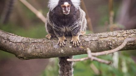 A marmoset at Amazona Zoo in Cromer. Picture: Chris Taylor/Supplied by Amazona
