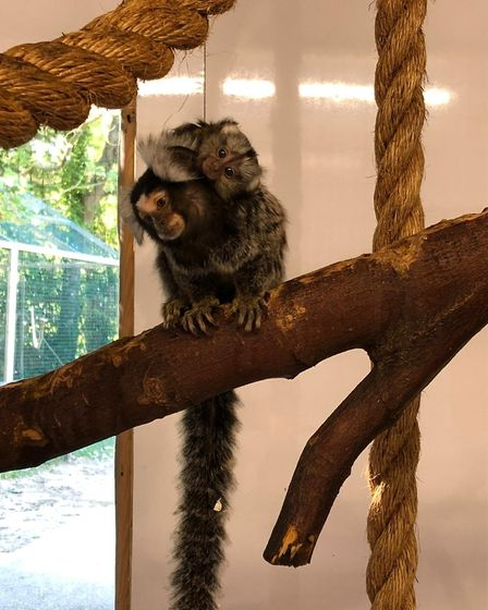 Spencer, the marmoset dad, with the new baby at Amazona Zoo in Cromer. Picture: Supplied by Amazona