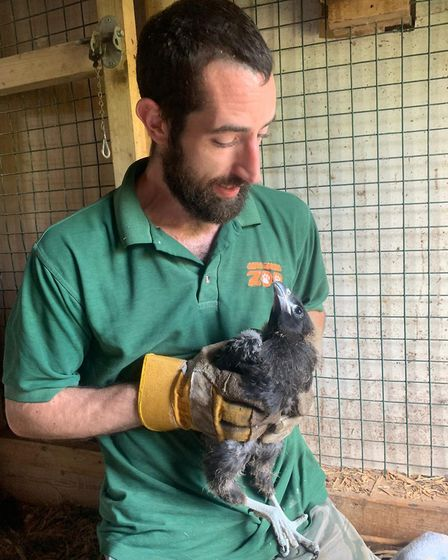 Amazona Zoo keeper Sam Fowler with a striated caracara chick. Picture: Supplied by Amazona