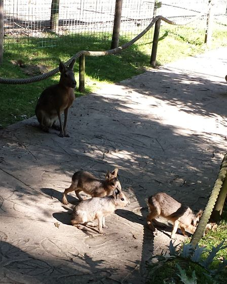 Patagonian mara harares at Amazona Zoo in Cromer. Picture: Supplied by Amazona