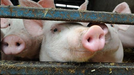 File photo of pigs. Plans for a pig farm in Aldborough in north Norfolk have drawn many objections f
