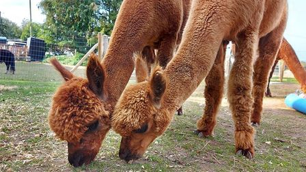 A new of the alpacas at Bumblebarn in Sheringham. Picture: Bumblebarn