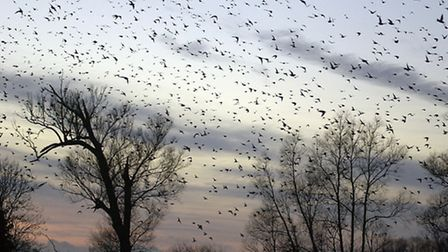 Starlings coming in to roost at Strumpshaw Fen