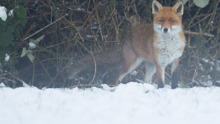 Fox in snow. Pic by Jonathan Lewis, Norfolk Wildlife Photography