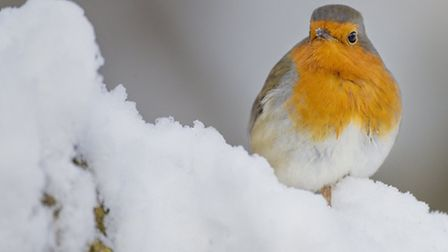 Robin in snow. Pic by Jonathan Lewis, Norfolk Wildlife Photography
