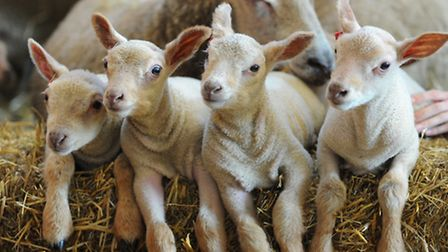 Newborn lambs are sure to be a big hit this half-term