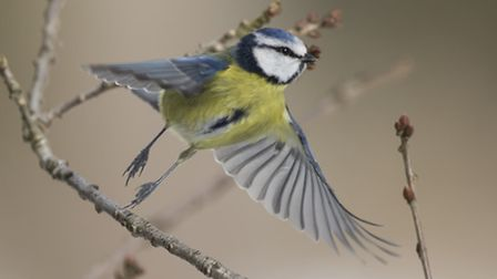 Blue tit in flight. Pic by Jonathan Lewis / Norfolk Wildlife Photography
