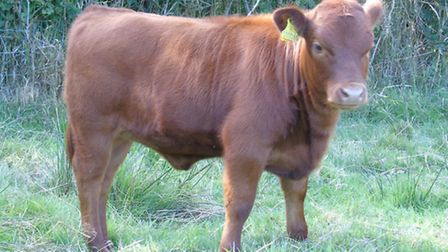 East Anglia Dexter Herd Competition. Pictured: Clobell Alice, suckling calf