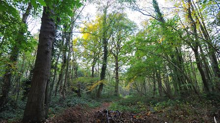 Belmore Plantation, part of Thorpe Woods that could be affected by future development.PHOTO BY SIMON