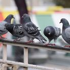 Norwich Market, getting overrun with pigeons after food scraps. Picture: DENISE BRADLEY