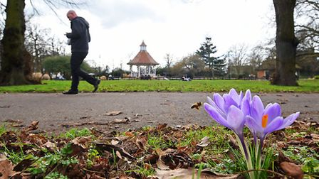 A bee hovers over crocus flowers on a spring-like day in Chapelfield Gardens. Picture: ANTONY KELLY